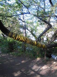 トラの尾桜