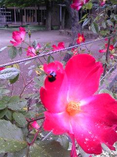 バラとてんとう虫?