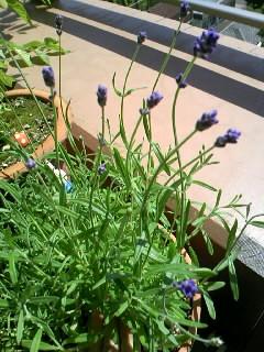 ラベンダーも咲きました
