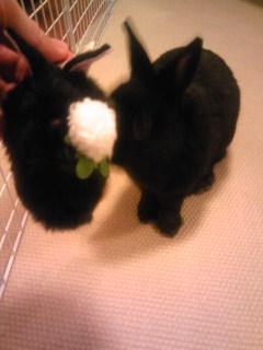 こわがりなクロウサギ