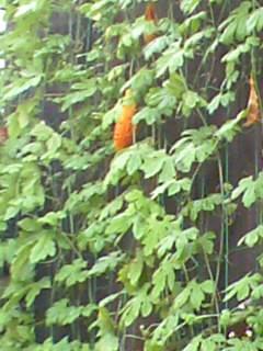 オレンジ色のゴーヤ?