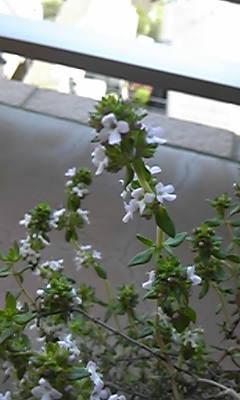 タイムの花が咲きました♪