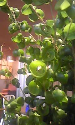 葉っぱがクルンと丸まっている植木