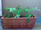 ミニトマトを植替え