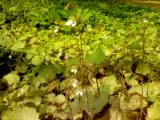 ユキノシタが今年も咲きました