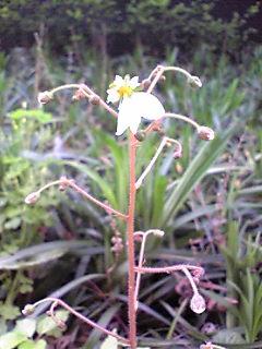 ユキノシタも開花