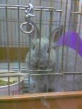 グレーのウサギ